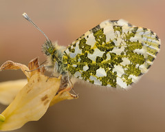 Resting (microwyred) Tags: events nature butterflyinsect leaf animalwing greencolor beautyinnature flower animal lepidoptera plant wildlife macro closeup butterfly orangetip multicolored insect outdoors fragility summer yellow springtime
