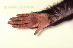 ZOO0066 (Akira Uchiyama) Tags: 動物たちのいろいろ 手 手チンパンジー