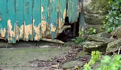 Peek a boo. (S.K.1963) Tags: elements cat scaredy peeling paint door farm olympus omd em1 12 40mm pro