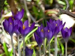 Frühling***Spring (BrigitteE1) Tags: frühling spring krokusse crocuses sonne sun sunnyday märz march deutschland germany bremen hff snappedthroughafence fz300 flickr blumen flowers crocus color colour fleur printemps