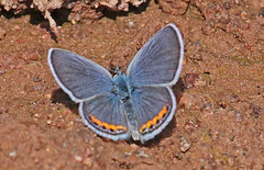 CAD0009051a (jerryoldenettel) Tags: 170411 2017 acmonblue blackcanyon lycaenidae nm plebejus plebejusacmon polyommatini socorroco blue butterfly insect
