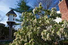 Japanese Pieris! (ineedathis,The older I get the more fun I have....) Tags: birdhouse chimney andromeda japanesepieris white ericaceae pierisjaponica flowers evergreen shrub garden nature spring nikond750 sky green bokeh outdoor trees plant blossoms bush