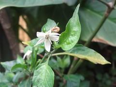DSC02488a (alfredoeloisa) Tags: plantae magnoliophyta magnoliopsida solanales solanaceae capsiceae capsicum capsicumannum