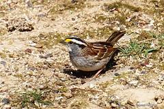 White-throated Sparrow (Anne Ahearne) Tags: bird birds sparrow whitethroatedsparrow animal nature wildlife