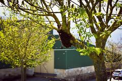 La más bella de las danzas (theoswald) Tags: abejas bees dance danger enjambre nature