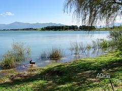...y el pato se acicalaba para encontrar a su pata... (AGirau ...) Tags: agirauflickr flickr agirau pirineos hierbas agua pato lago lacdelaraho
