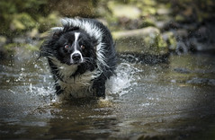 Gibson doing his best to look cool while shaking! (redshift1960) Tags: gibson bordercollie dog shake water canon 5dmk3 200mm