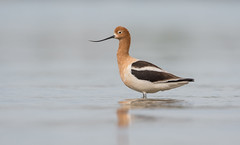 American Avocet (nikunj.m.patel) Tags: southwest coloradoriver lakehavasucity avocet shorebird bird avian nature wildlife photography arizona nikon d500 american
