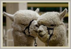 Spring is in the Air (Jmarie999) Tags: alpaca denver