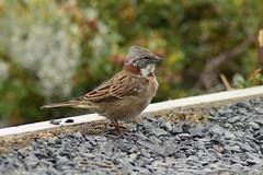 Chincol (constanzablackburn) Tags: torresdelpaine chincol ave bird chile south