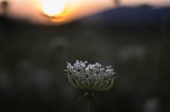 sunset (ΞSSΞ®®Ξ) Tags: ξssξ®®ξ pentax k5 summer 2016 field flower lazio italy smcpentaxm50mmf17 dof sun buring depthoffield queenanneslace sunset evening