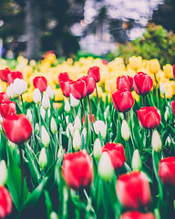 (amandalee1107) Tags: tulips red yellow tulipfestival ottawa spring flowers flower garden