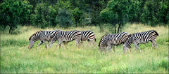 Kruger, March 2017 -  Zebras (Katarina 2353) Tags: southafrica africa kruger zebra katarina2353 katarinastefanovic