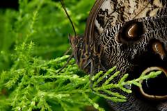 Papillons en Liberté 2017 - Photo 28 (Le Chibouki frustré) Tags: nikon nikond700 d700 700 fx fullframe montréal montreal homa hochelagamaisonneuve macro macrophotographie botanicalgarden jardinbotanique jardinbotaniquedemontréal montrealbotanicalgarden butterfly insect insects bokeh dof pdc papillonsenliberté2017 butterfliesgofree2017 closeuplens closeupfilter