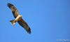Black Kite - Milvus migrans (Aphelocoma_) Tags: 2016 accipitridae accipitriformes australia blackkite canonef300mmf28lisiiusmlens canoneos5dmarkiii canonextenderef14xii deniliquinenvirons image january kite milvus milvusmigrans nature newsouthwales photo photograph picture wildlife animal bird summer