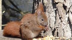 Wieder mal ein Shooting mit dem Eichhörnchen ;-)) (baerchen57) Tags: tiere animals hallesaale natur makro video eichhörnchen futterstelle