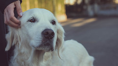 Vanina (_Wrathen_) Tags: dog chien rip restinpeace flickrfriday portrait animaldecompagnie canon 50mm 750d goldenretriever