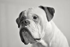Wiseguy (ALok fotografie) Tags: mydogs lovemydog maledog dog dogportrait hund chien perro honden hond huisdier petdog pets pet monochroom monochrome portrait portret face seriousface dogphotography hondenfotografie d7200 nikonafs50mmf14g nikond7200 nikon nikon50mm inside blackandwhite nederland thenetherlands akabrick brick dognose march2017 2017 amerikaansebulldog bully bulldogs americanbulldog bulldog bestevriend bestfriend blackwhite bw wiseguy love animaleyes eyes
