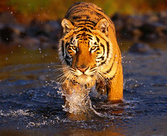 1643667757ranthambore (Top Indian Holidays) Tags: rajasthanwildlifetour rajasthanwildlifetourpackages