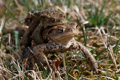 9510 Kröten (Canonklick) Tags: canon6d kröte ostalb weiherwiesen macro frösche nature frog