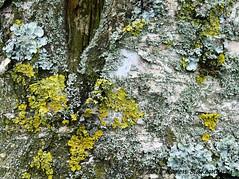 March 31st, 2017 Lichen on birch bark (karenblakeman) Tags: caversham uk tree birch lichen physcia xanthoriaparietina 2017 2017pad march