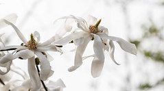 Magnolia Stellata-8004 (WendyCoops224) Tags: 24105mml 70d canon eos garden spring ©wendycooper magnolia stellata