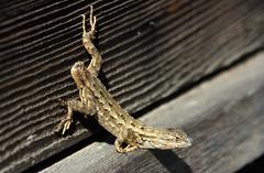 Lost tales (TJ Gehling) Tags: reptile lizard iguanidae fencelizard westernfencelizard sceloporus sceloporusoccidentalis tail hillsidenaturalarea elcerrito