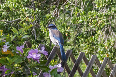 849A9202.jpg (bridgetds) Tags: bird scrubjay