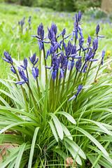 DSC_8005-Edit (Cycling Saint) Tags: nikond3nikkor1635f4vr bluebells springflowers springtime leicestershire