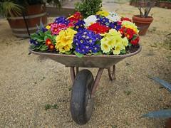 Beblumte Schubkarre (nordelch61) Tags: badhomburg schlosgarten blumen blüten baum bäume libanonzeder tulpen frühling hessen