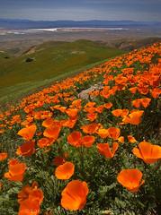 Poppies of Carrizo (DM Weber) Tags: california poppies carrizo plains national monument cpnm soda lake temblor mountains ultrawide dof landscape psa148 dmweber canon eos5dmk2