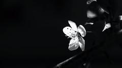 Catch the Light (Erich Hochstöger) Tags: blüte blossom kirschblüte cherryblossom sw bw monochrome makro macro nahaufnahme closeup