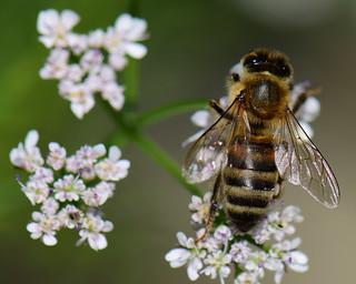 Honey Bee in the vegetable garden