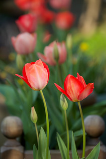 My Tulips III