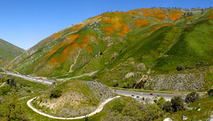 DSCF8580-81 pan (Hiker Bob) Tags: 20170401 californiapoppy forttejon grapevine i5 wildflowers
