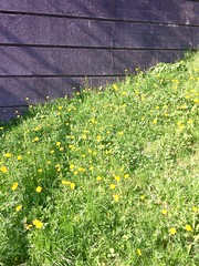 Dandelions (♔ Georgie R) Tags: crawley sussex dandelions