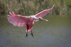 Flying Colors (gseloff) Tags: roseatespoonbill bird flight bif wildlife smithoaksrookery houstonaudubonsociety highisland texas gseloff