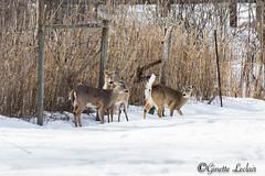 chevreuils-3491 (art'foto) Tags: nature chevreuil dain caribou cerf de virginie