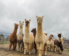 medina-7698 (FarFlungTravels) Tags: alpaca animal farm medinacounty onefineday shear wool