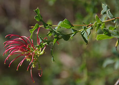 Grevillea maccutcheonii, Kings Park, Perth, WA, 10/01/17 (Russell Cumming) Tags: plant grevillea grevilleamaccutcheonii proteaceae kingspark perth westernaustralia