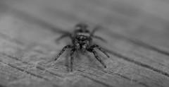 apr10 2017 8 (Delena Jane) Tags: delenajane dfo spider zebraspider blackandwhite pentaxart newfoundland ngc canada closeup insect macro 100mm