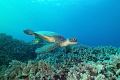 touchdown (BarryFackler) Tags: seaturtle greenseaturtle marinereptile cheloniamydas coralreef turtle honu hawaiiangreenseaturtle reptile cmydas water ecology westhawaii ecosystem tropical undersea underwater island bigisland organism outdoor ocean 2017 konadiving marinelife sealife marine animal aquatic polynesia pacific pacificocean life kona konacoast hawaii hawaiiisland hawaiicounty honaunau honaunaubay hawaiidiving hawaiianislands fauna diver diving dive southkona sea scuba seacreature sealifecamera sandwichislands saltwater zoology vertebrate barryfackler barronfackler biology bay being bigislanddiving nature marinebiology marineecosystem marineecology