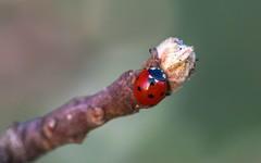 ladybug (01) (Vlado Ferenčić) Tags: closeup closeupmacro macro vladoferencic vladimirferencic hrvatska croatia nikond600 sigma15028macro bubamara