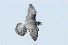 Peregrine falcon (Thomas Winstone) Tags: unitedkingdom gb peregrinefalcon peregrine falcon raptor bird birds birdofprey canon canon300mmf28 canonuk canon1dxmark2 gwent wales