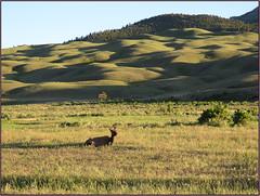 Yellowstone Elk (Photographic Poetry) Tags: elk yellowstonenationalpark montana gardiner wyoming mammal animal wildlife landscape