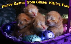 Happy Easter Kittens (youtube.com/utahactor) Tags: kittens easter ginger cats pets animals gato gatao chats chatons gingerkittiesfour newborn babies fur furbabies youtube videos hd canon 100mm macro pink nose closedeyes whiskers orange red yellow kitties