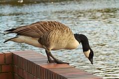 Taking the Plunge! (tim ellis) Tags: bird canadagoose goose suttonpark wyndleygate wyndleypool suttoncoldfield uk duck mallard