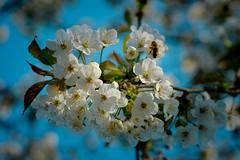 Perfect spring day, Cherry blossom and a blue sky (bobbybee2000) Tags: fujifilmxt2 fujinonobjektiv frühling spring outdoor nature natur blauerhimmel light shades kirschblühte bluesky licht schatten flower blume blühte