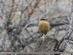 Brown Accentor (Prunella fulvescens) (gilgit2) Tags: aliabad avifauna birds brownaccentorprunellafulvescens canon canoneos7dmarkii category fauna feathers geotagged gilgitbaltistan hunza imranshah location pakistan species tags tamron tamronsp150600mmf563divcusd wildlife wings gilgit2 prunellafulvescens