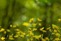 Emozioni ((Raffaella@)..quasi pronta alla partenza!) Tags: flowers nature yellow light spring april wood bokeh sunlight colors green grass bubbles